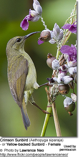 Crimson Sunbird (Aethopyga siparaja) - or Yellow-backed Sunbird - Female