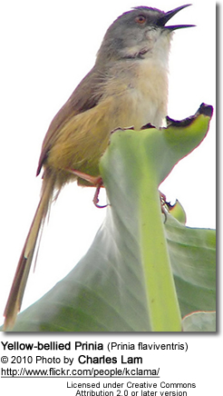 Yelllow-bellied Prinia