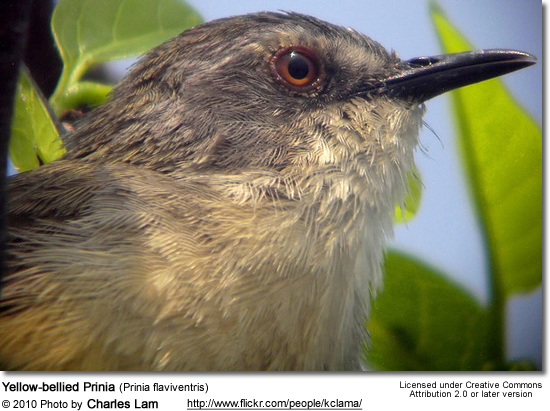 Yellow-bellied Prinia (Prinia flaviventris)