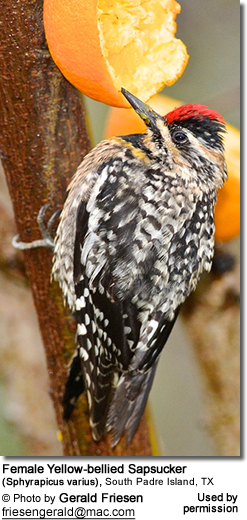 Female Yellow-bellied Sapsucker (Sphyrapicus varius), South Padre Island, TX