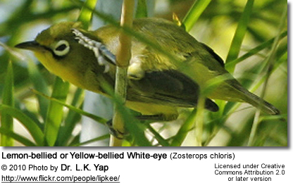 Lemon-bellied or Yellow-bellied White-eye (Zosterops chloris)