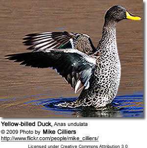 Yellow-billed Duck, Anas undulata