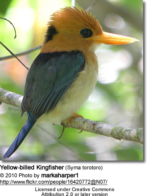 Yellow-billed Kingfisher (Syma torotoro)