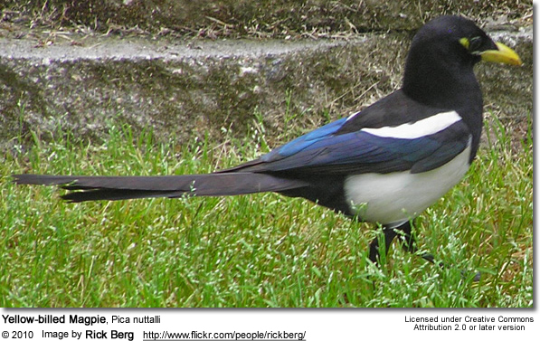 Yellow-billed Magpie, Pica nuttalli