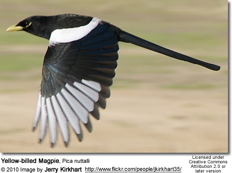 Gold-billed aka Yellow-billed Magpie, Urocissa flavirostris