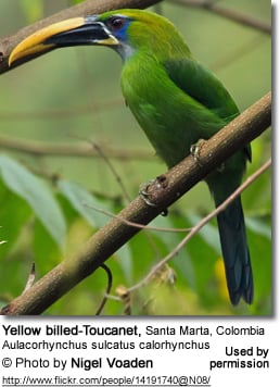 Yellow-billed Toucanet