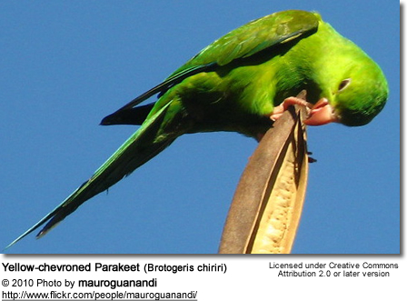 Yellow-chevroned Parakeets (Brotogeris chiriri)