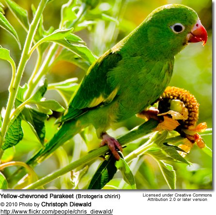 Yellow-chevroned Parakeet (Brotogeris chiriri)