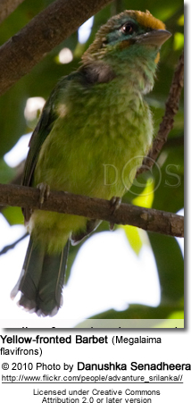 Yellow-fronted Barbet (Megalaima flavifrons)