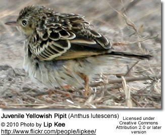 Juvenile Yellowish Pipit (Anthus lutescens)