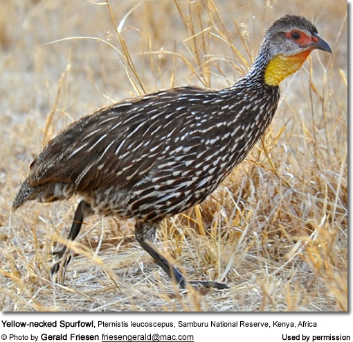 Yellow-necked Spurfowl, Pternistis leucoscepus, Samburu National Reserve, Kenya, Africa