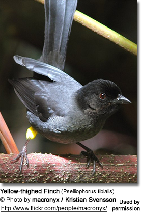 Yellow-thighed Finch (Pselliophorus tibialis)