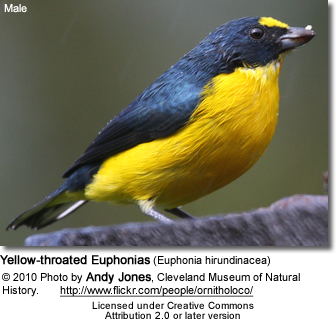 Yellow-throated Euphonias (Euphonia hirundinacea)