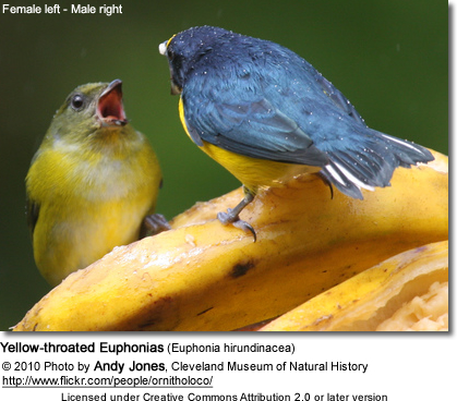 Yellow-throated Euphonias (Euphonia hirundinacea) - female left, male right