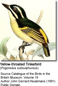 Yellow-throated tinkerbirds