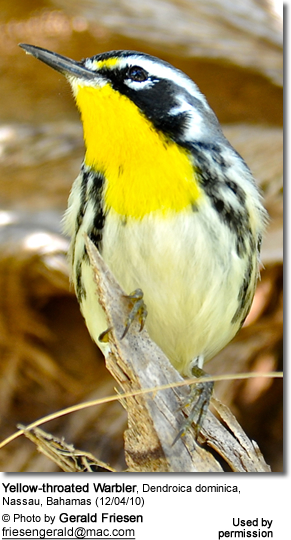 Yellow-throated Warbler, Dendroica dominica, Nassau, Bahamas
