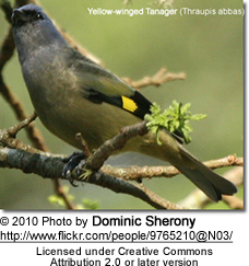 Yellow-winged Tanager (Thraupis abbas)