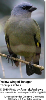 Yellow-winged Tanager, Thraupis abbas