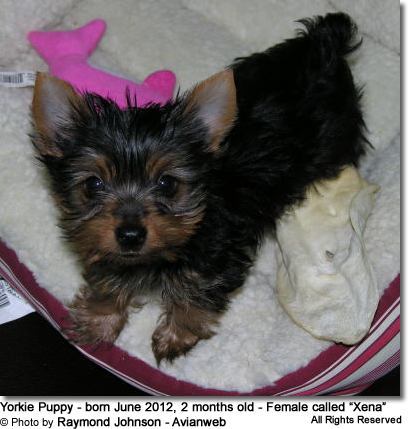 Yorkie Puppy - Avianweb Member in Training
