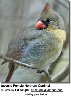 Juvenile Female Northern Cardinal