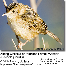 Zitting Cisticola or Streaked Fantail Warbler (Cisticola juncidis)