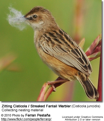 Zitting Cisticola / Streaked Fantail Warbler (Cisticola juncidis) - collecting nesting material