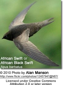 African Swift or African Black Swift