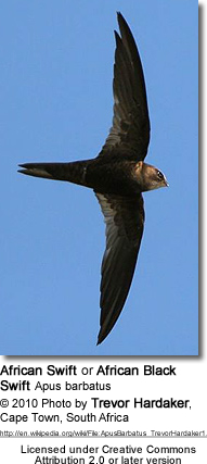African Swift or African Black