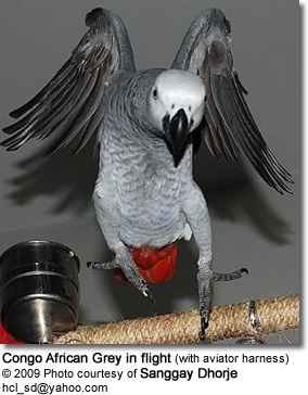 African Grey in flight