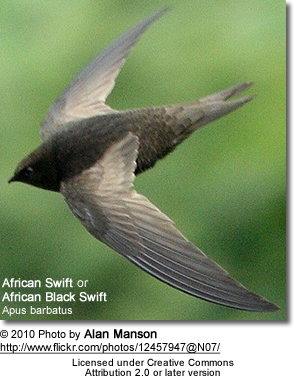 African Black Swift (Apus barbatus). From a great spot at the top of a cliff at Hlokozi, KwaZulu-Natal, South Africa.