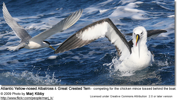 Atlantic Yellow-nosed Albatross and Great Crested Tern - competing for the chicken mince tossed behind the boat.