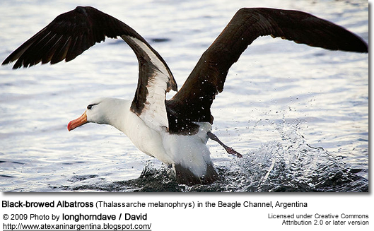 Black-browed Albatross (Thalassarche melanophrys) in the Beagle Channel, Argentina