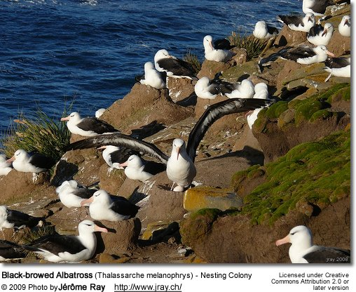 Black-browed Albatross (Thalassarche melanophrys) - Nesting Colony