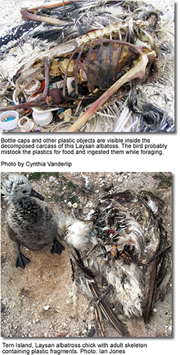 Laysan Albatross died from ingestnig plastic garbage
