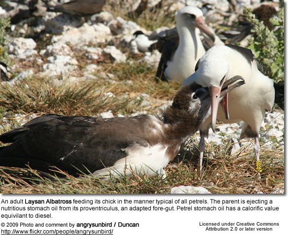Laysan Albatross feeding its chick