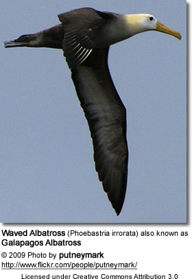 Waved Albatross (Phoebastria irrorata) also known as Galapagos Albatross