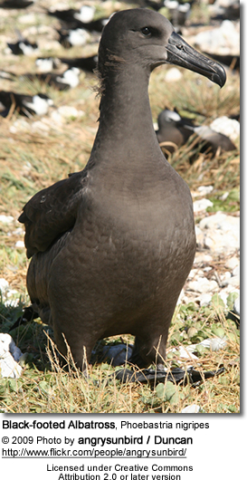 Black-footed Albatross, Phoebastria nigripes