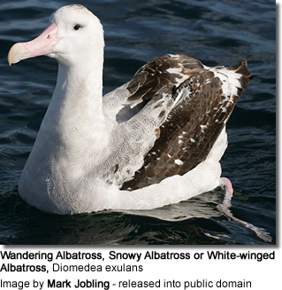 Wandering Albatross, Snowy Albatross, or White-winged Albatross, Diomedea exulans