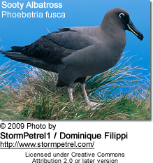 Sooty Albatross or Dark-mantled Sooty Albatross