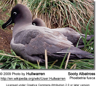 Sooty Albatrosses or Dark-mantled Sooty Albatrosses (Phoebetria fusca)