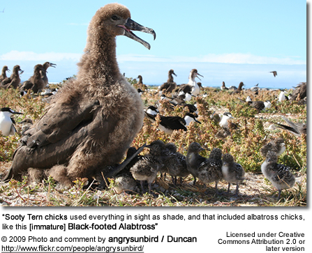 """Sooty Tern chicks used everything in sight as shade, and that included albatross chicks, like this [immature] Black-footed Alabtross"""