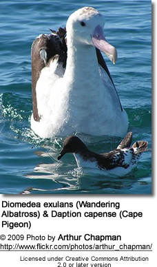 Diomedea exulans (Wandering Albatross) and Daption capense (Cape Pigeon)