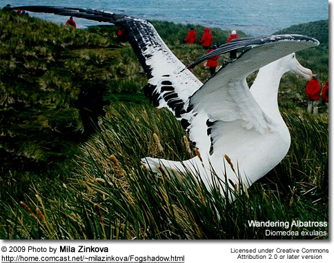 Great albatrosses