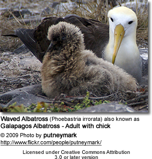 Waved Albatross, Phoebastria irrorata - also known as Galapagos Albatross