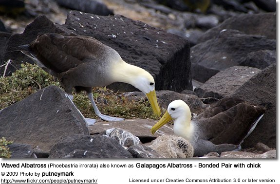 Waved Albatross (Phoebastria irrorata) also known as Galapagos Albatross - Bonded Pair with chick