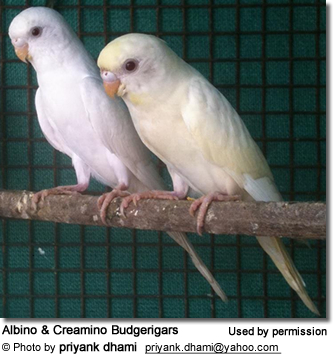 Albino and Creamino Budgerigars