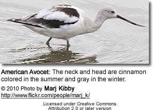 American Avocet: The neck and head are cinnamon colored in the summer and gray in the winter.