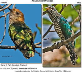 Asian Emerald Cuckoos