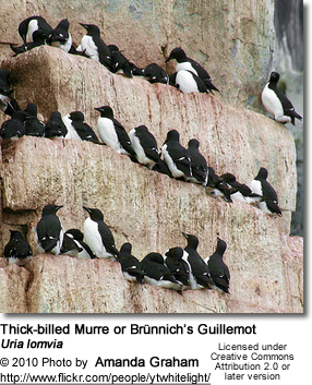 Thick-billed Murre or Brünnich��s Guillemot