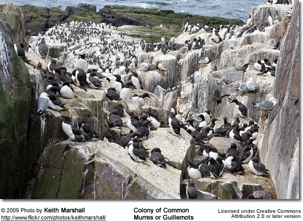 Common Guillemots or Murres - Colony